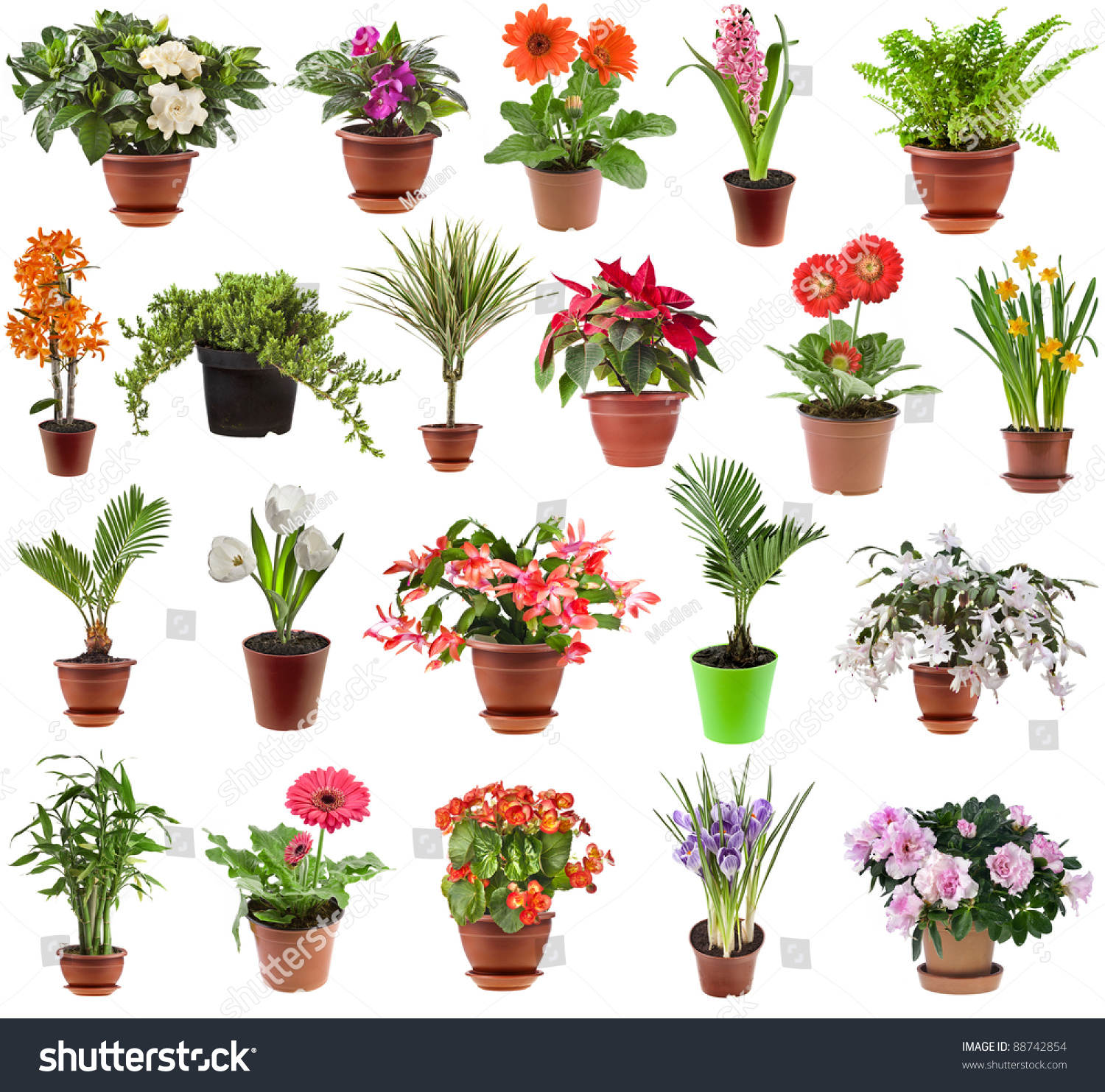 Collection set of different spring flower houseplants in flowerpot isolated on white background - White flowering house plants ...