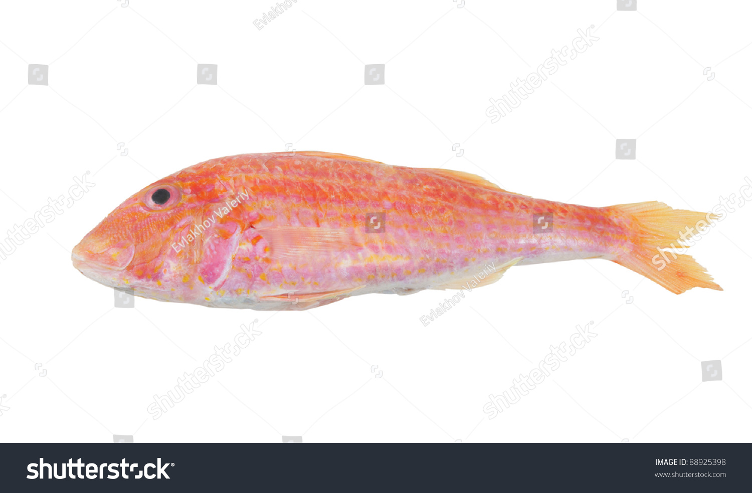 Red mullet fish isolated on white background stock photo for Red mullet fish
