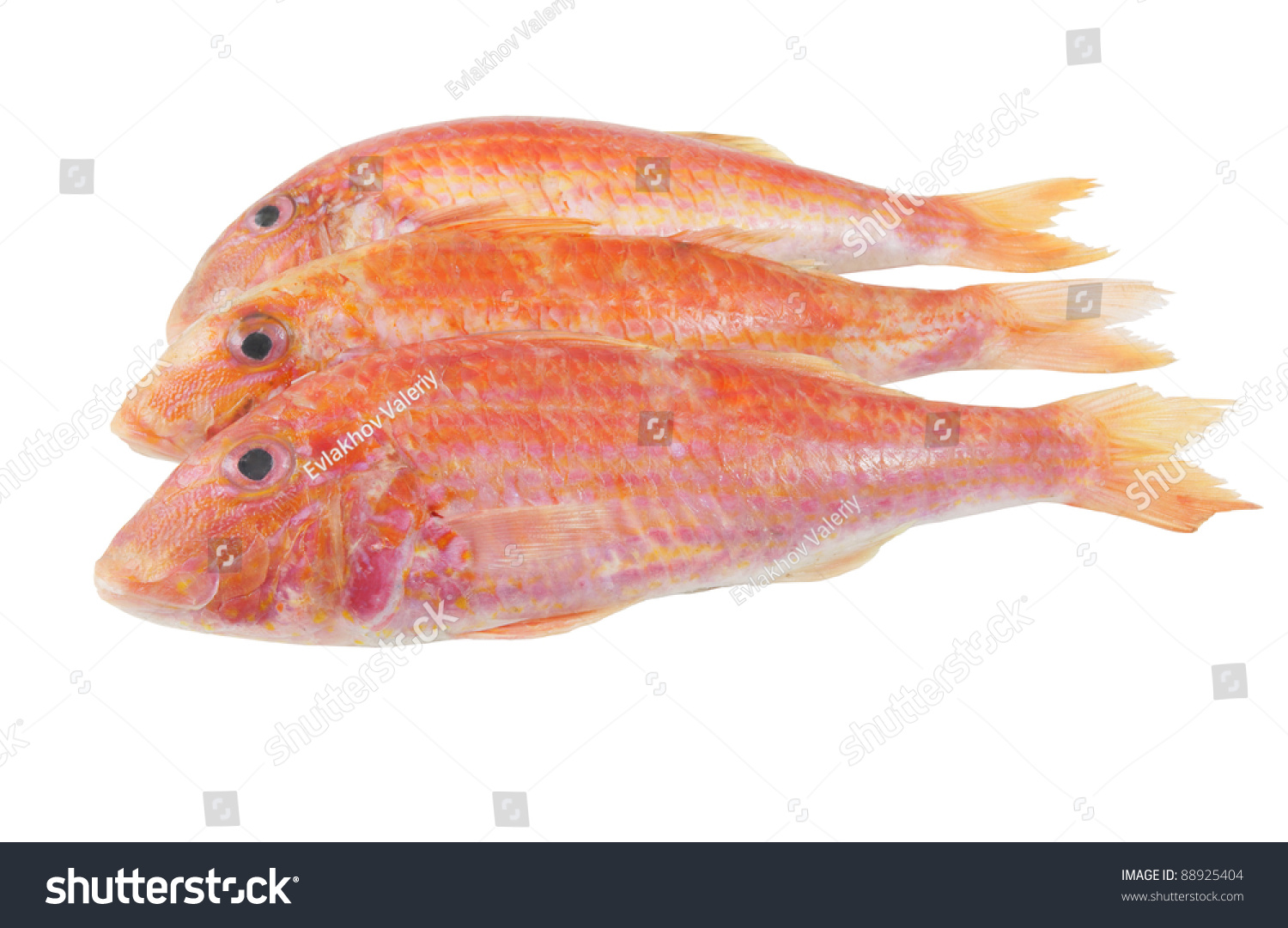 Red mullet fish isolated on white stock photo 88925404 for Red mullet fish