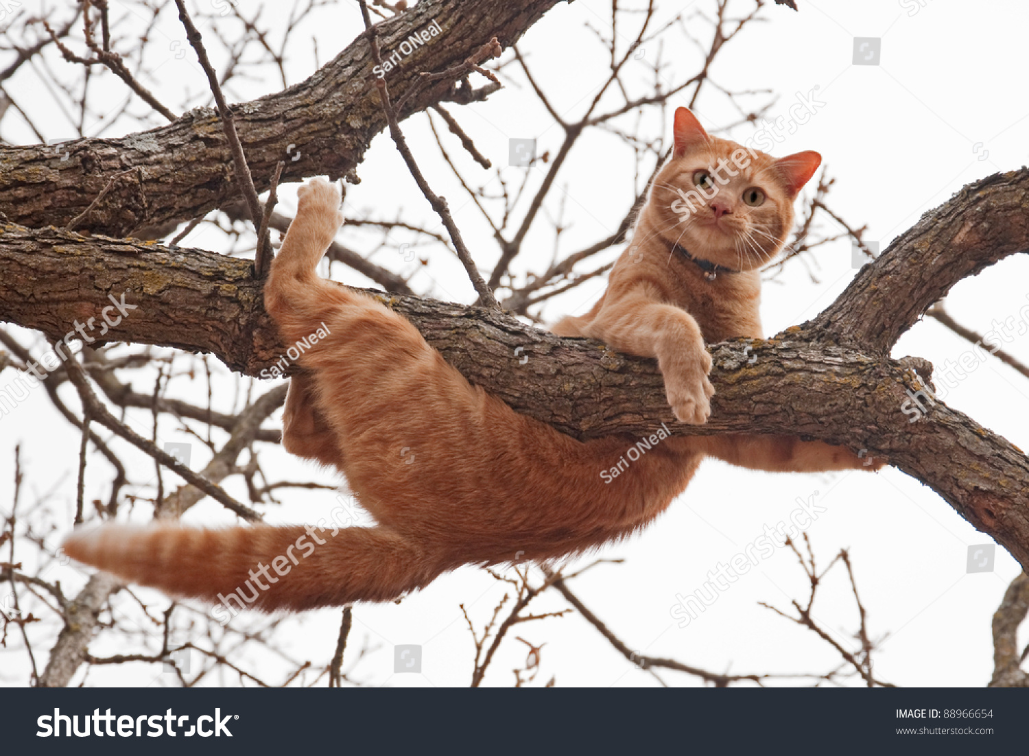 cat in distress orange tabby cat about to fall off of a tree with a worried look on his face. Black Bedroom Furniture Sets. Home Design Ideas