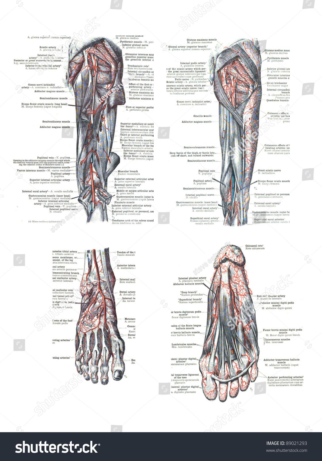 4 Views Human Foot Leg Atlas Stock Photo Edit Now 89021293