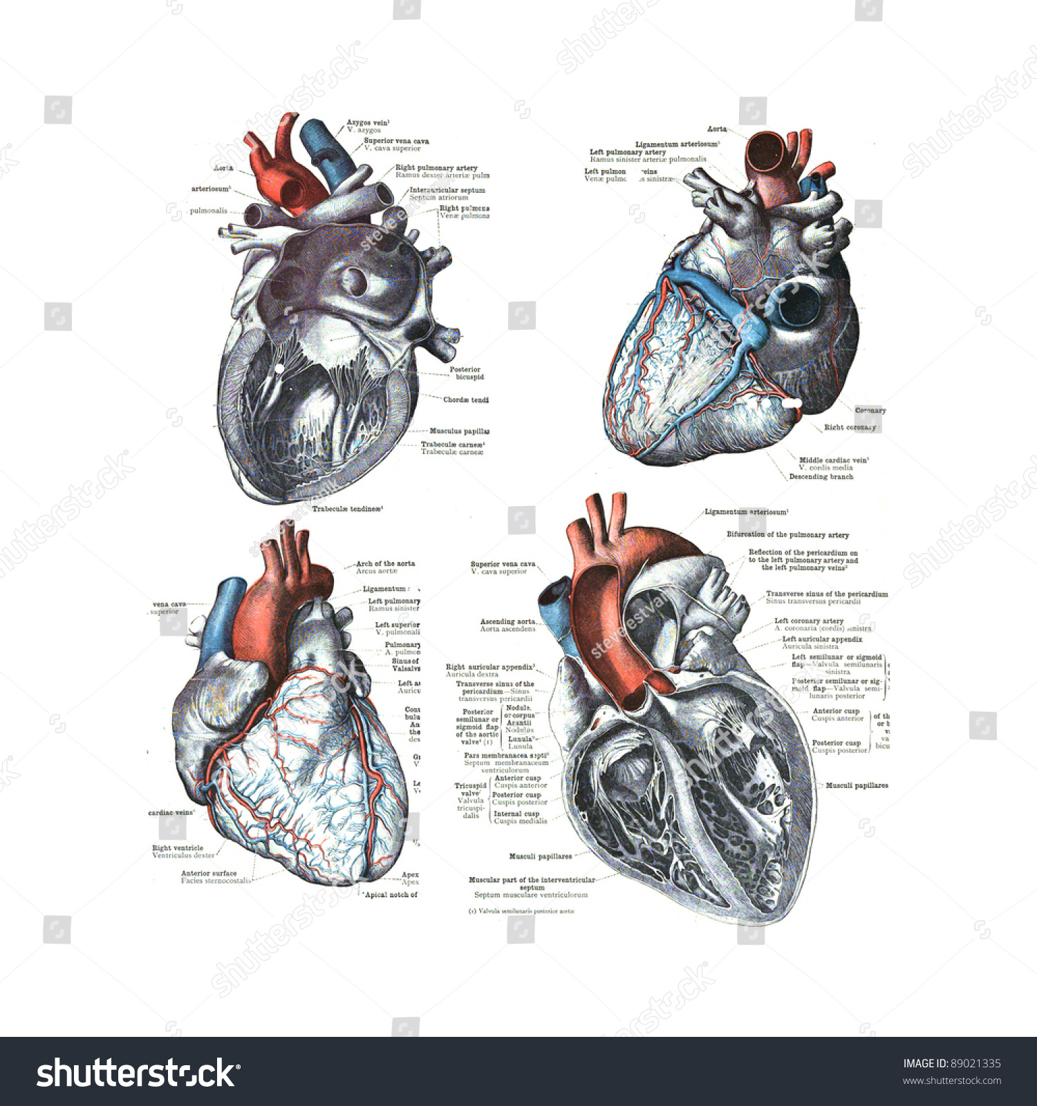 4 Views Human Heart Atlas Human Stock Photo Safe To Use 89021335