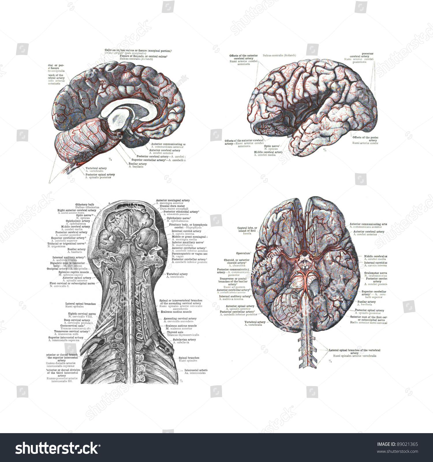 4 Views Human Brain Atlas Human Stock Photo (Download Now) 89021365 ...