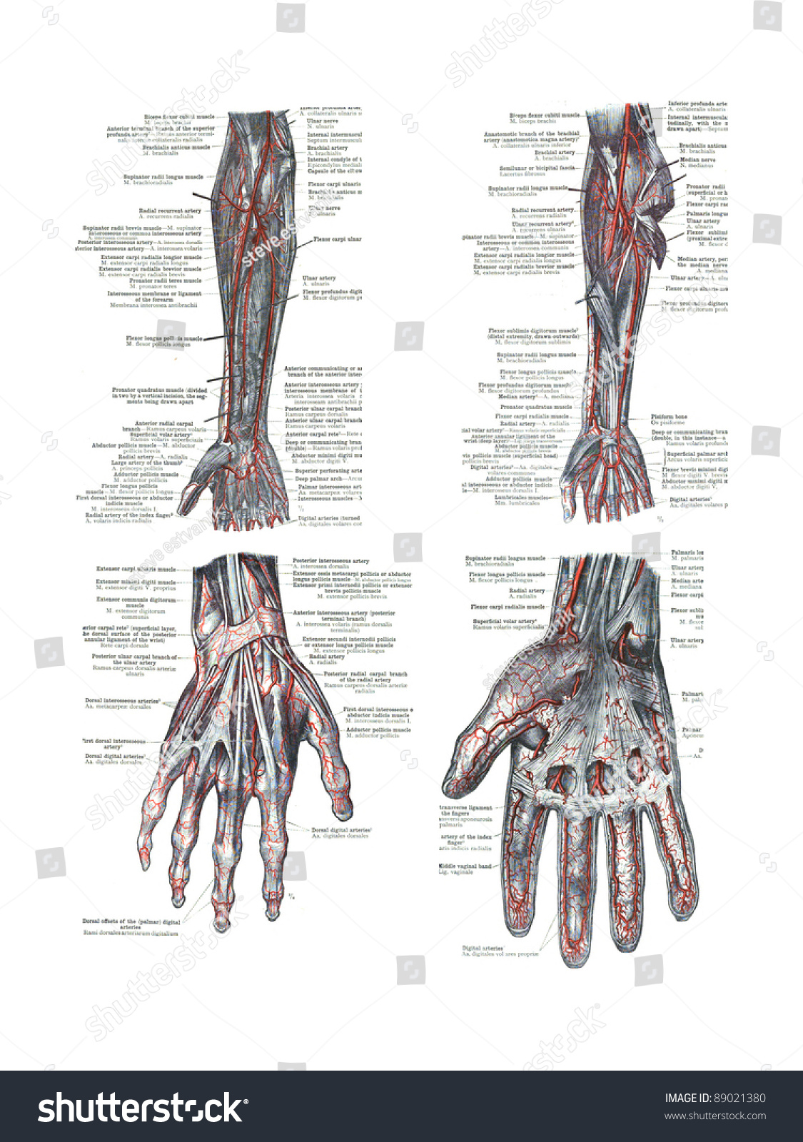 4 Views Human Hand Arm Atlas Stock Photo Edit Now Shutterstock