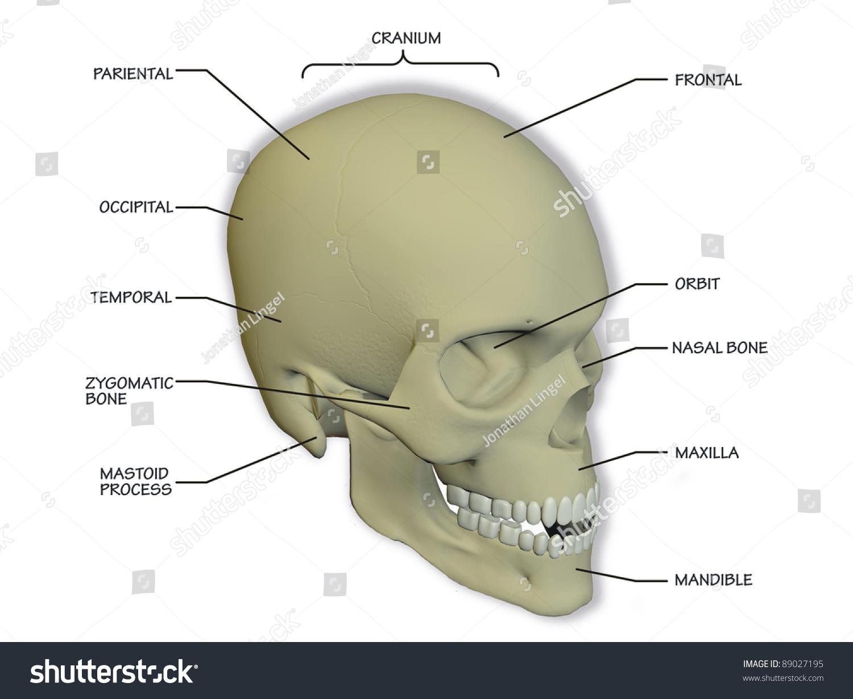 Diagram Human Skull Stock Illustration 89027195 Shutterstock