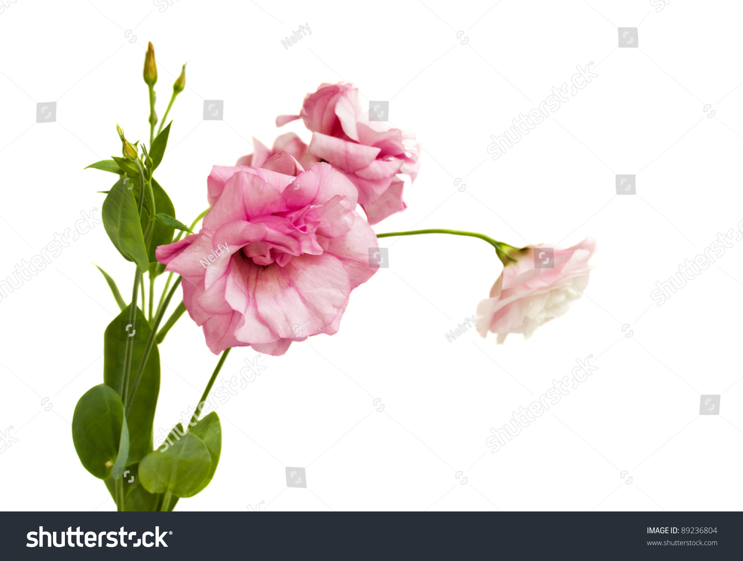Bunch pink eustoma lisianthus flowers isolated stock photo image bunch of pink eustoma lisianthus flowers isolated on white background mightylinksfo