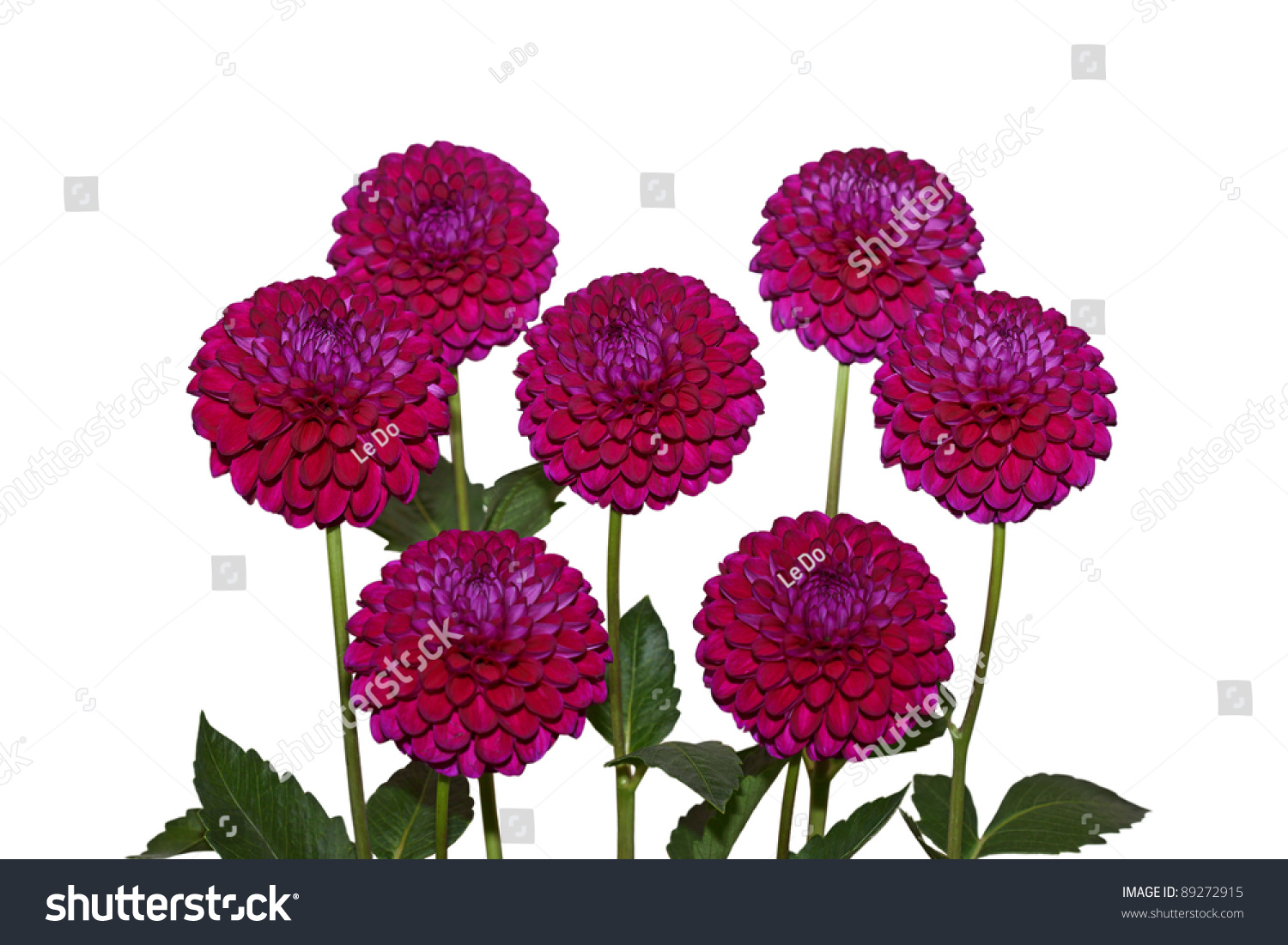 Seven Red Violet Dahlia Flowers Isolated On White Stock ...