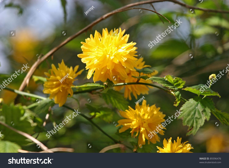 Yellow flowering shrub stock photo 89396476 shutterstock yellow flowering shrub dhlflorist Gallery
