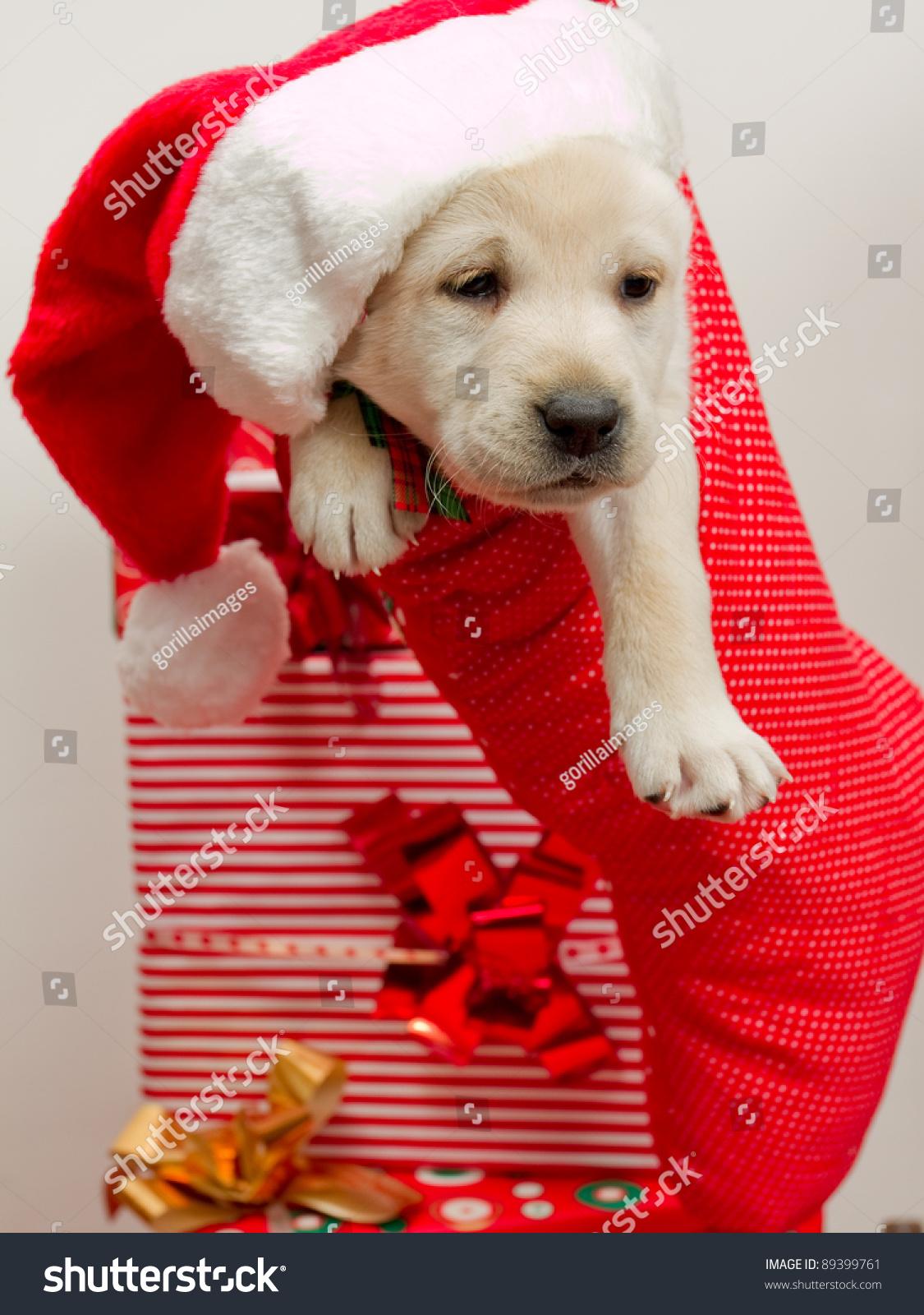 Christmas Present Cute Labrador Puppy Christmas Stock Photo Edit Now 89399761