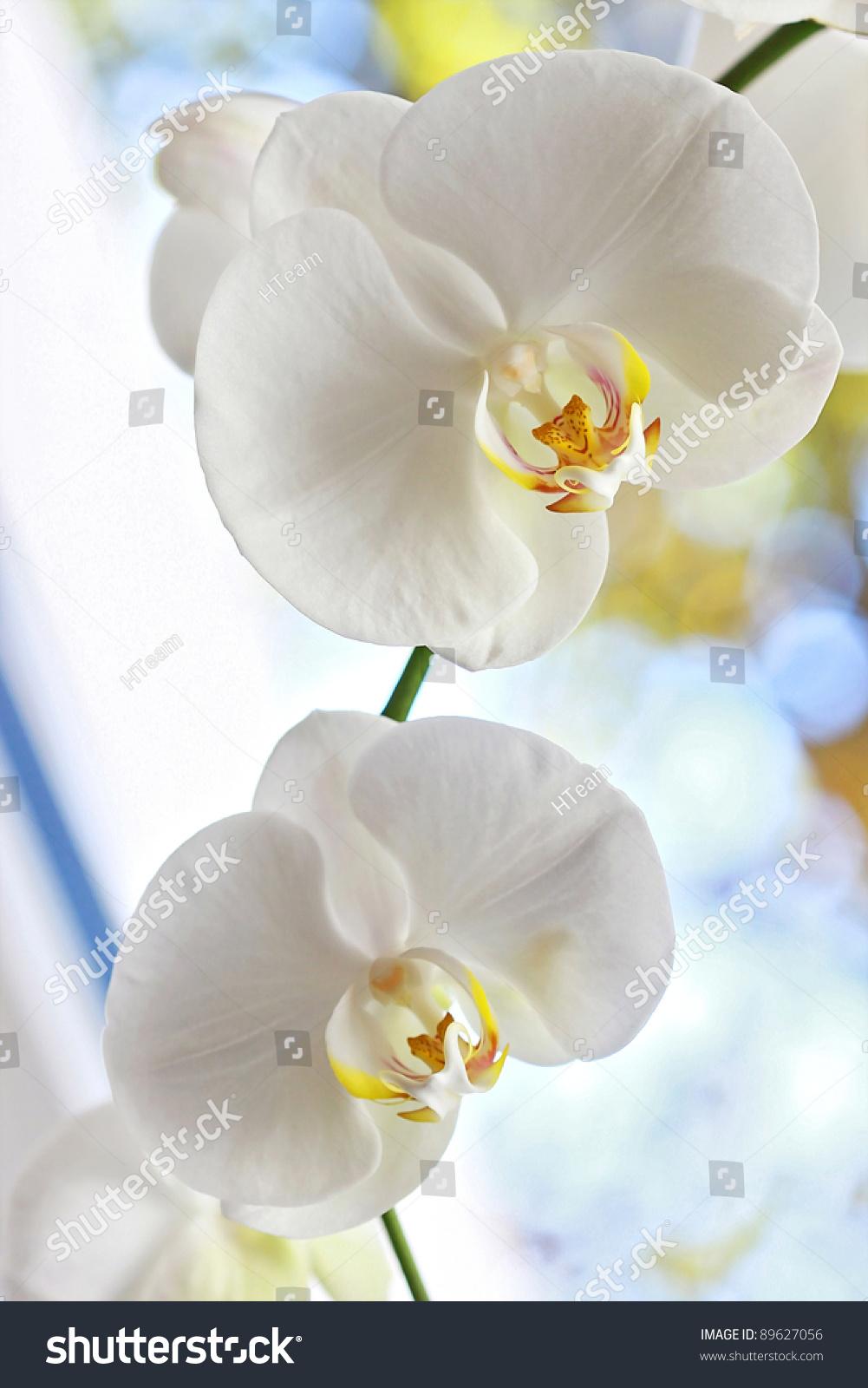 White Orchid Flower Brunch Flowers Closeup Stock Photo Edit Now