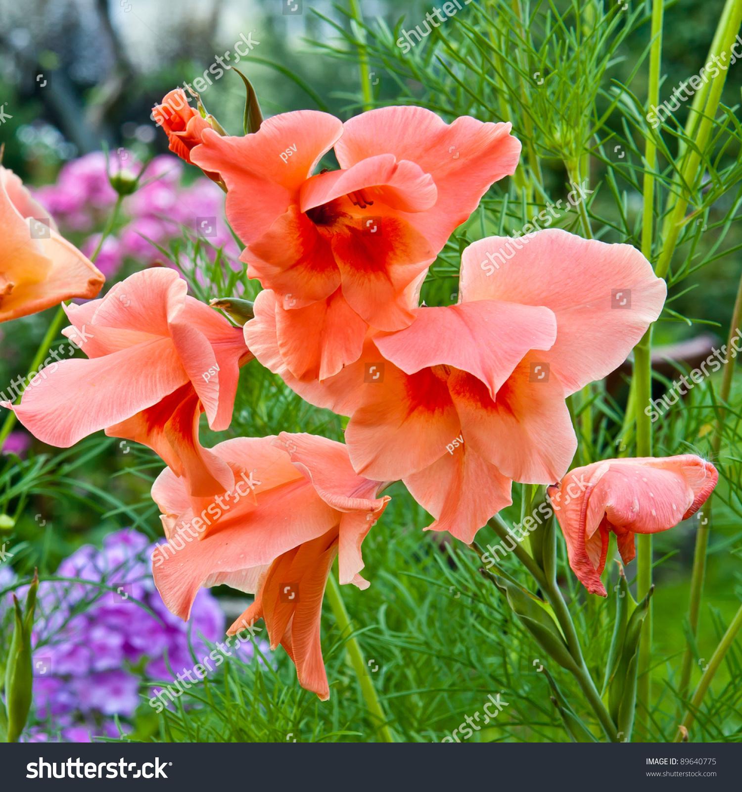 Closeup Photo Gladiolus Flowers Decorative Green Stock Photo Edit