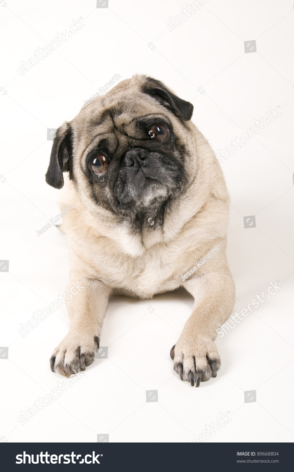 pug laying down pug laying down stock photo 89668804 shutterstock 2467