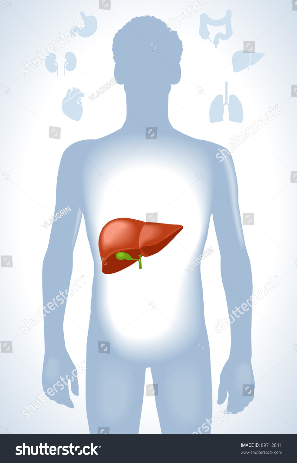 Set Human Anatomy Parts Liver Heart Stock Vector (2018) 89712841 ...