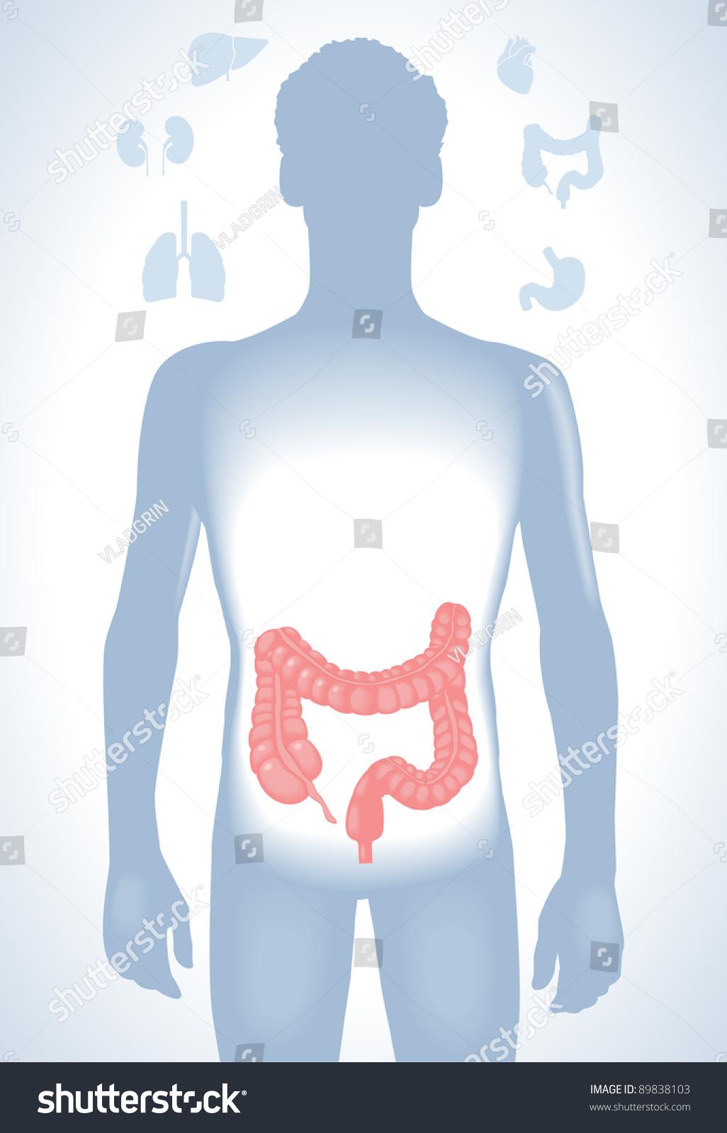 Set Human Anatomy Parts Liver Heart Stock Vector HD (Royalty Free ...