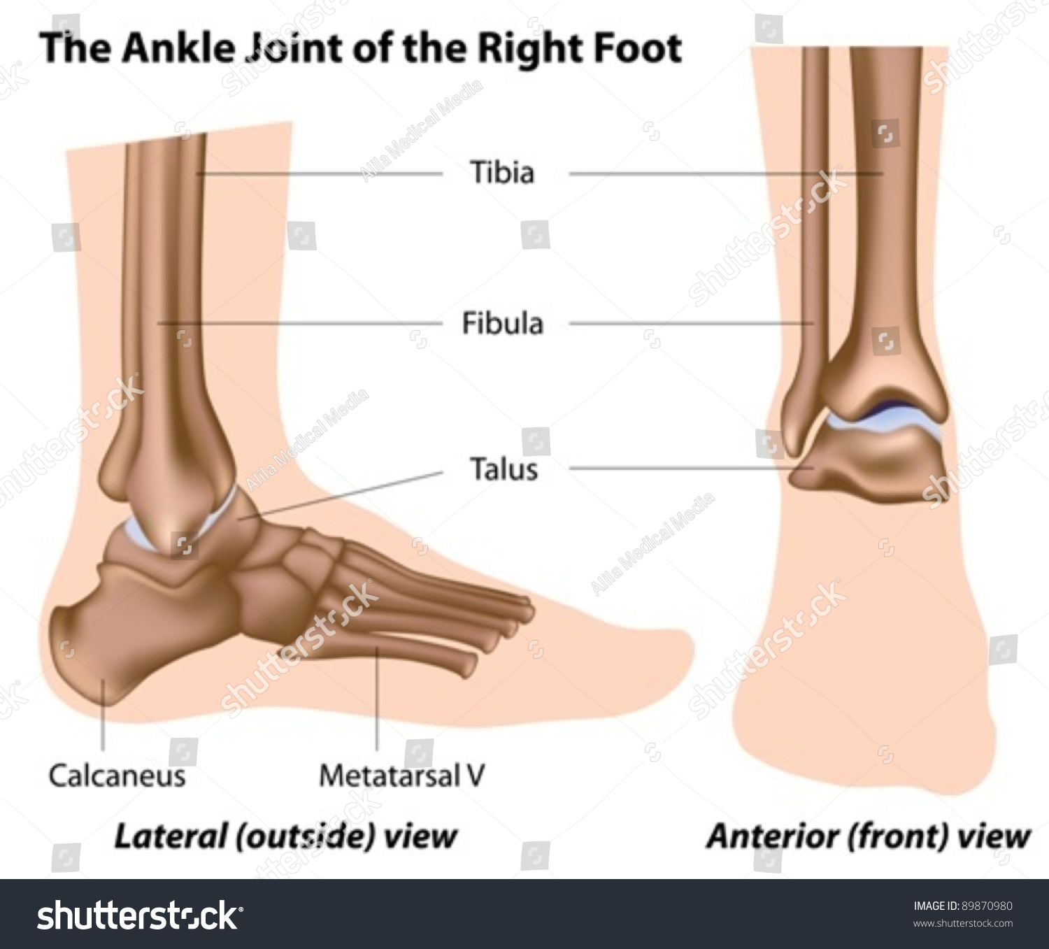 structure ankle joint lateral front views stock vector 89870980
