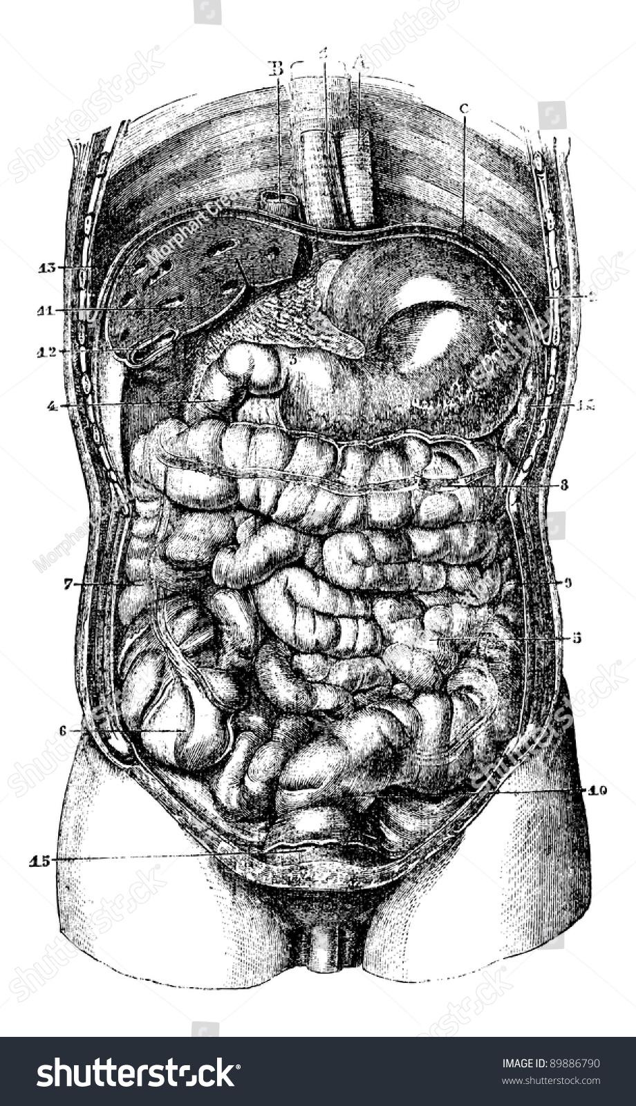 Internal Body 1 Esophagus 2 Stomach Stock Vector Royalty Free