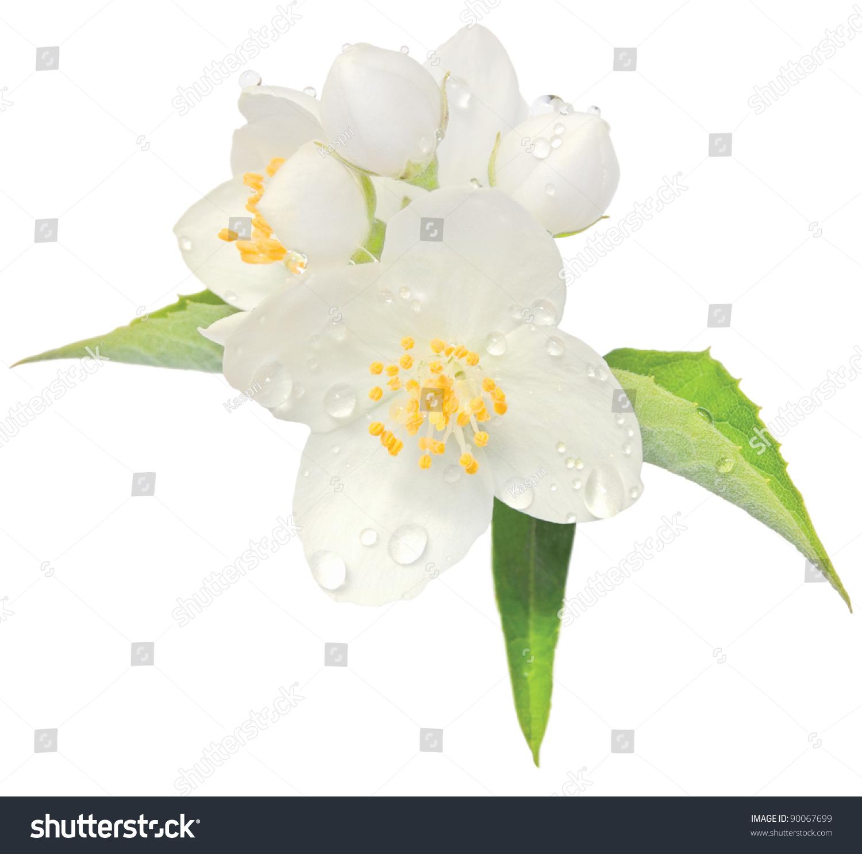 Jasmine Flower Mock Orange Blossom Macro Stock Photo Edit Now