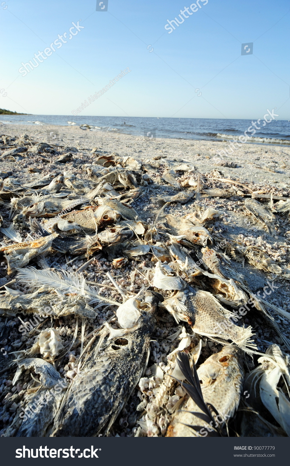 Dead fish at salton sea stock photo 90077779 shutterstock for Salton sea fishing