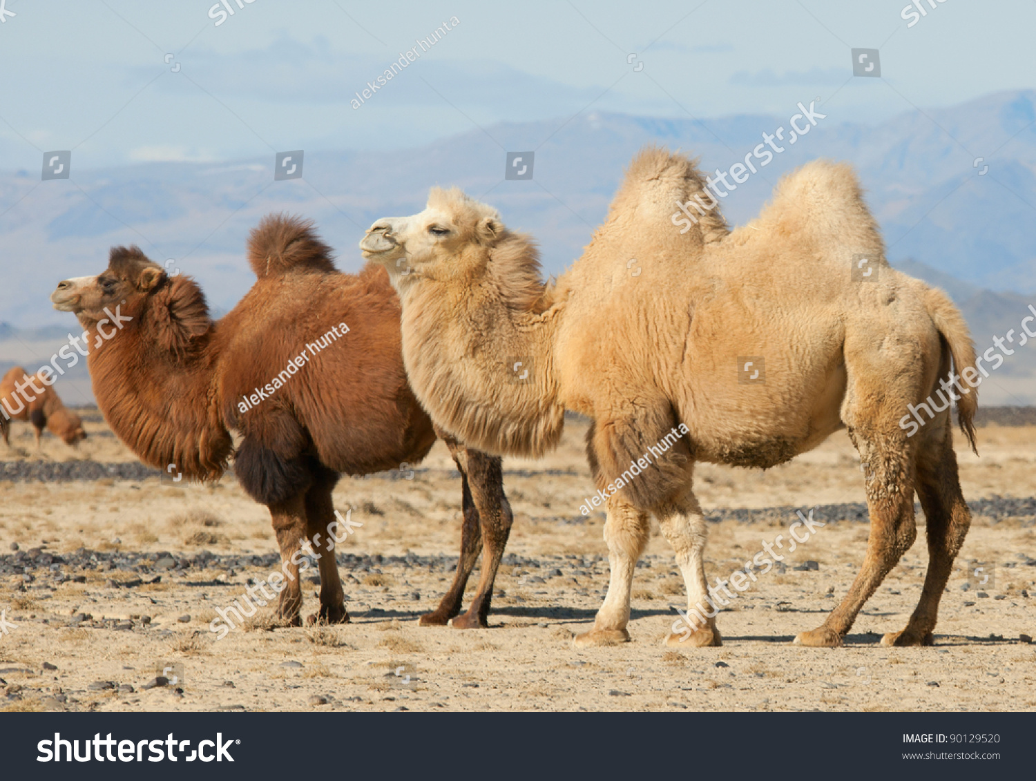 Bactrian Camel Steppes Mongolia True Transport Stock Photo ...