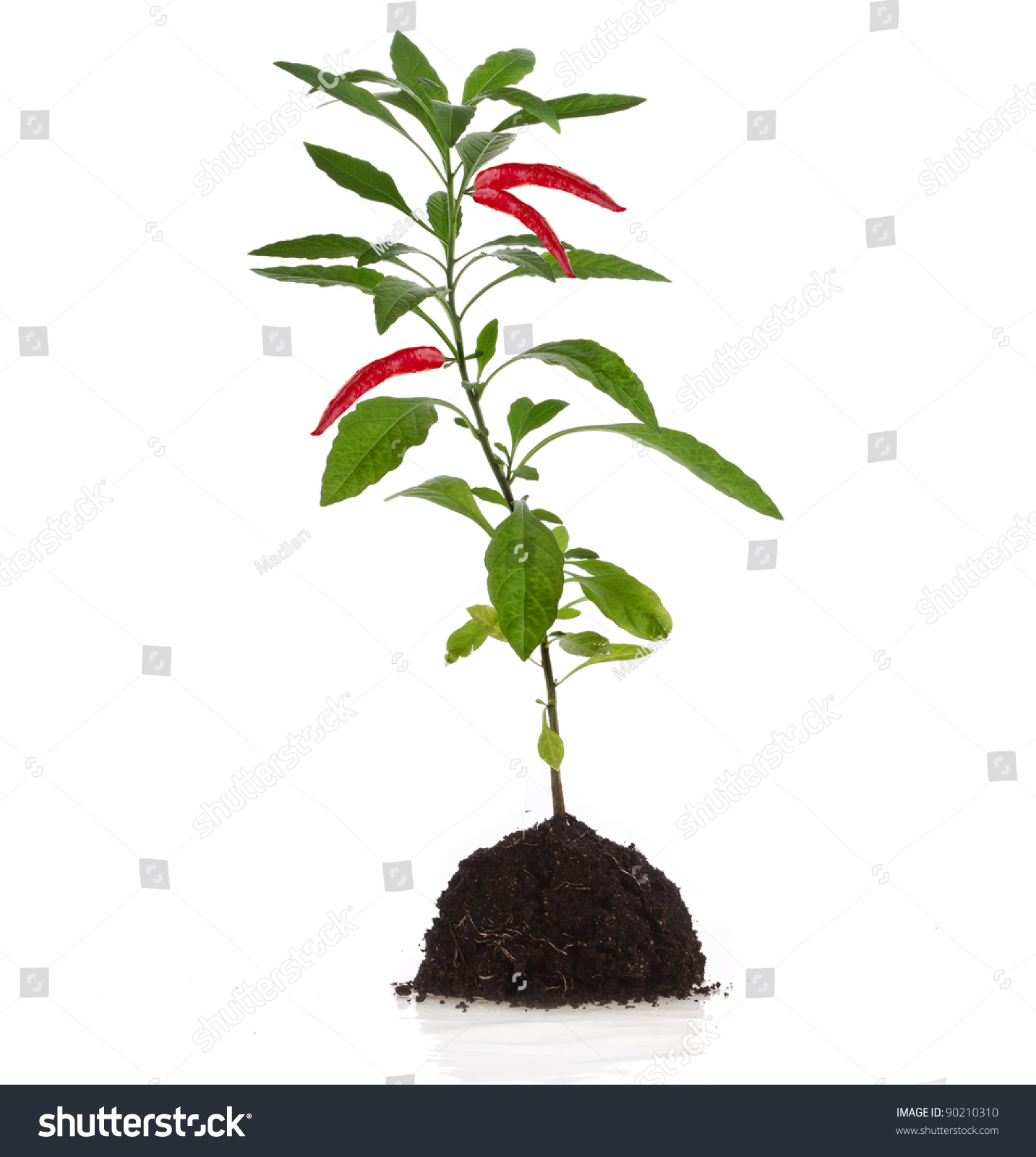 Red Hot Chili Pepper Plant Seedling Stock Photo 90210310 ...