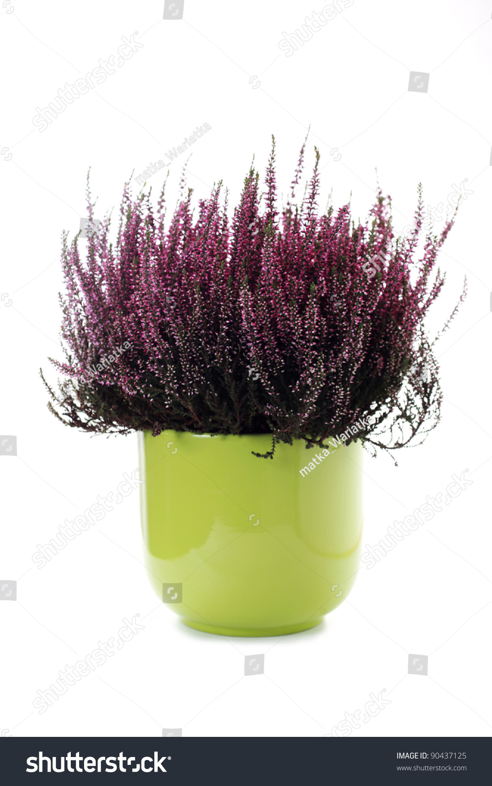 Green pot of heather on white background flowers and plants stock photo 90437125 shutterstock - Aromatic herbs pots multiple benefits ...