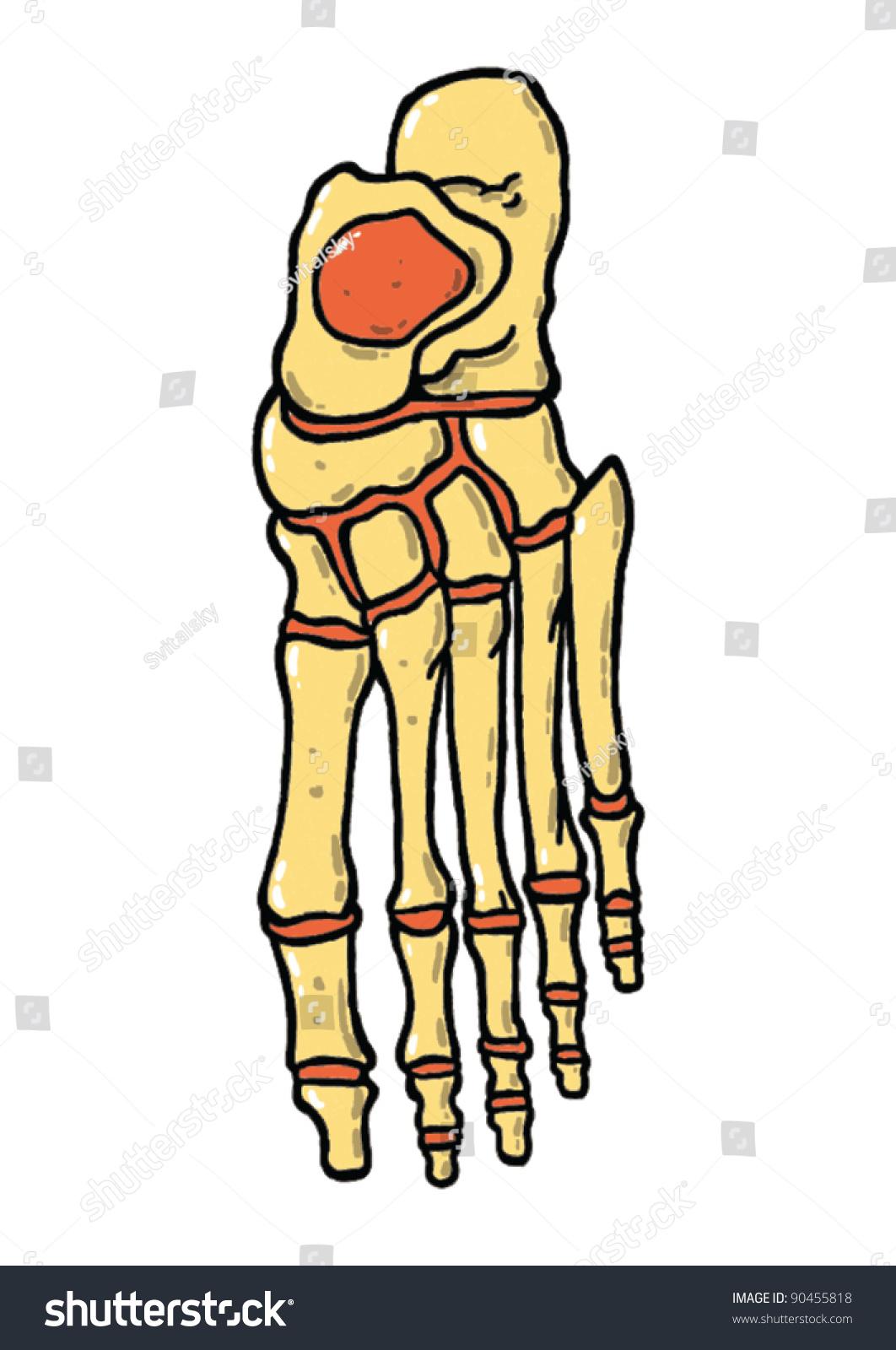 Anatomy Foot Bones Vector Illustration Stock Vector 90455818 ...