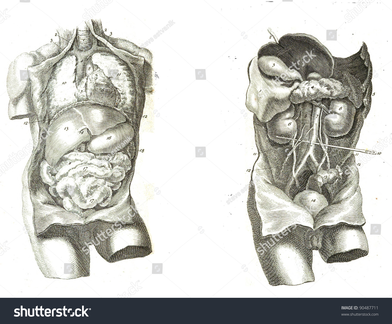 2 Views Human Torso Muscles Internal Stock Photo Safe To Use
