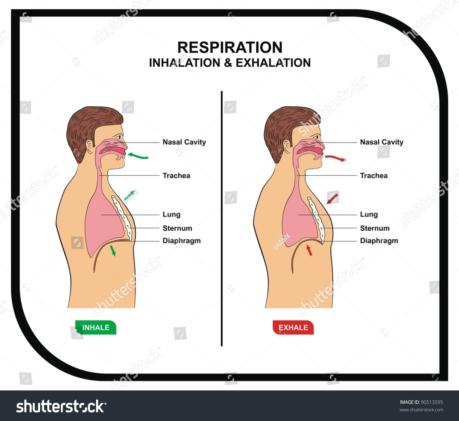 Vector Respiration Inhalation Exhalation Stock Royalty Free And Diagram On Inhaling Exhaling