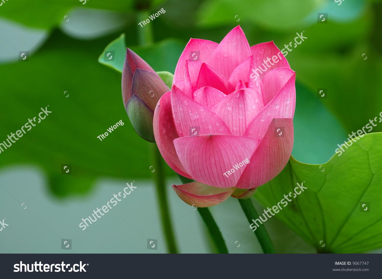 View lotus flower bud pond stock photo download now 9067747 a view of lotus flower and bud in pond izmirmasajfo