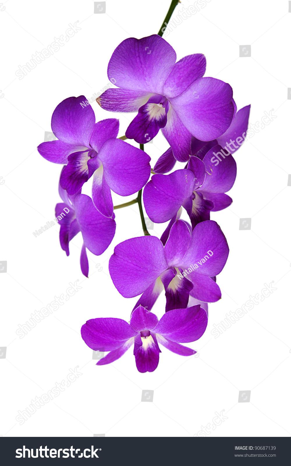 Purple Cymbidium Orchid In Thailand