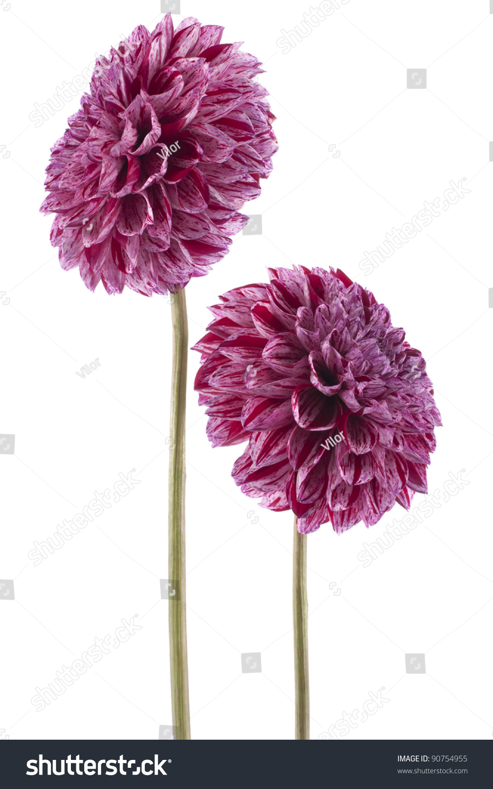 Studio Shot Of Red-Violet Colored Dahlia Flowers Isolated ...