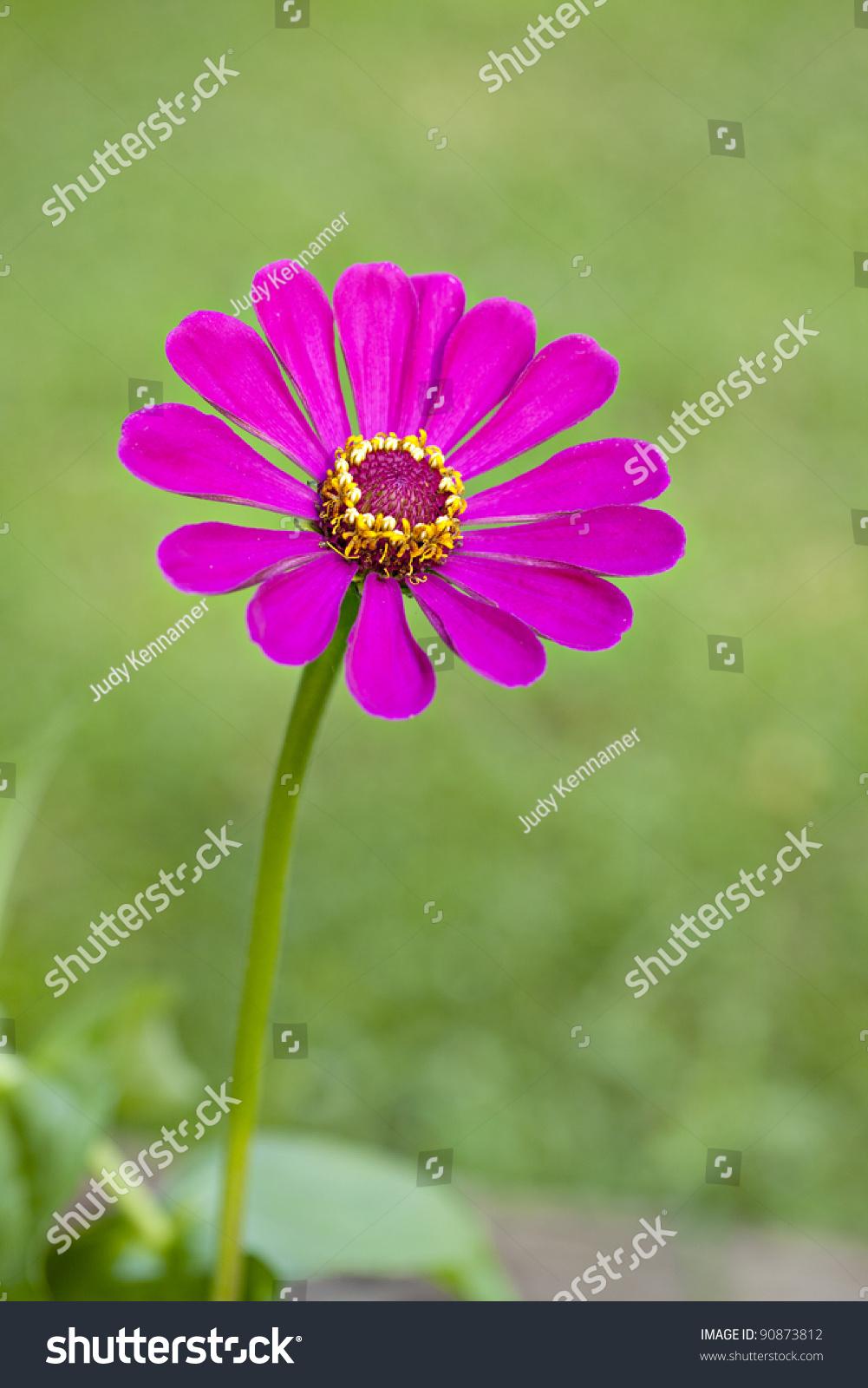 Beautiful Single Pink Zinnia Flower Natural Stock Photo Edit Now