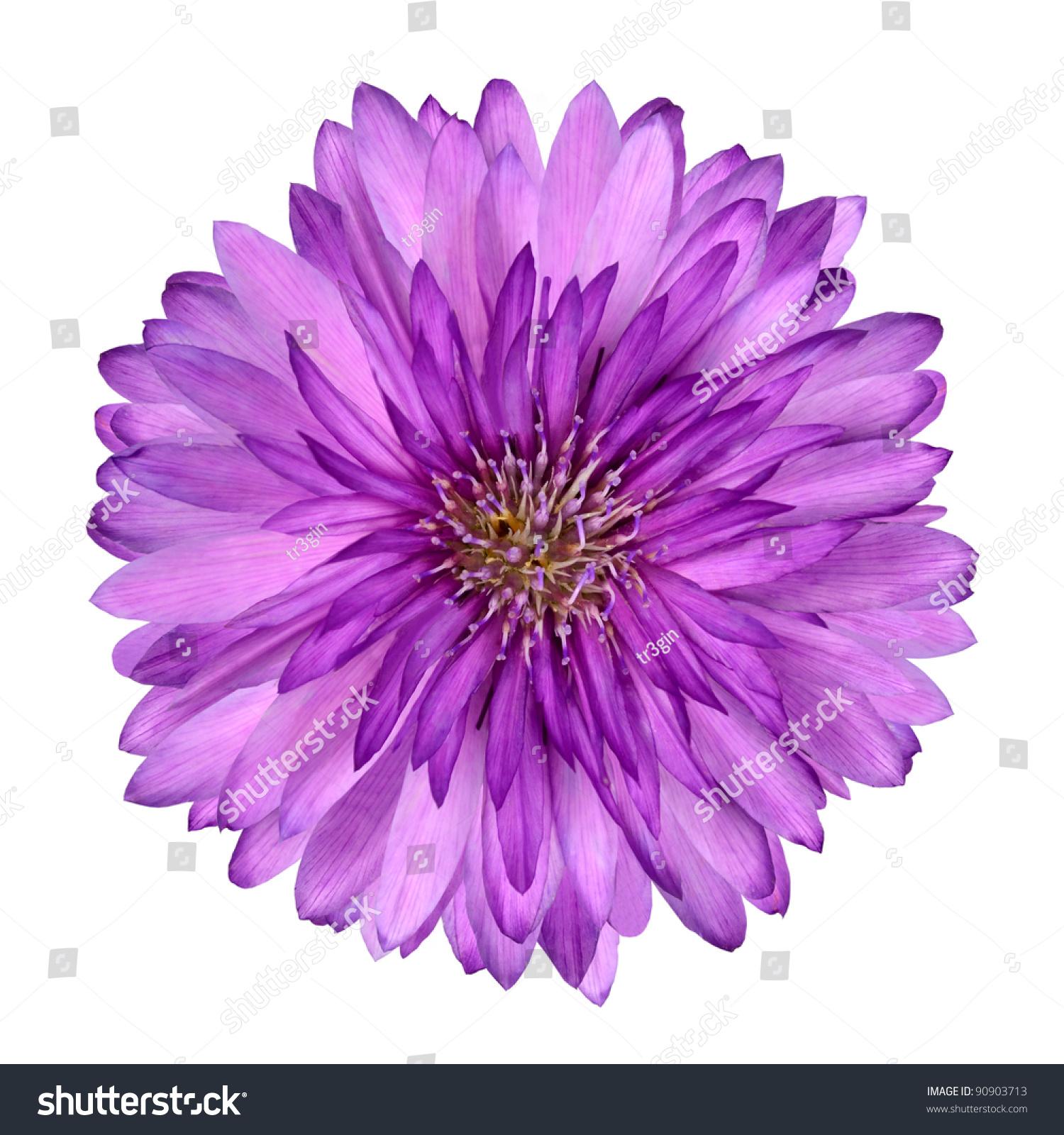 Cornflower Like Pink Purple Flower Isolated Stock Shutterstock