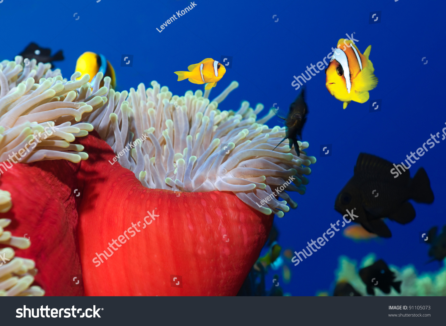 Anemone Fishes His Colorful Host Sea Stock Photo (100% Legal ...