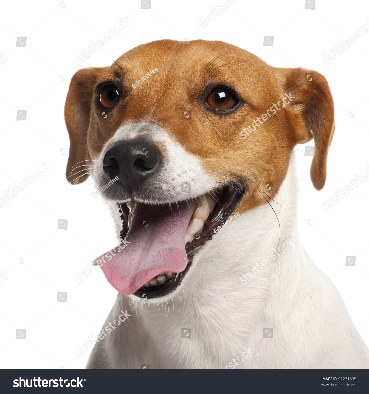 Jack Russell Terrier 4 Years Old Stock Photo 91231895