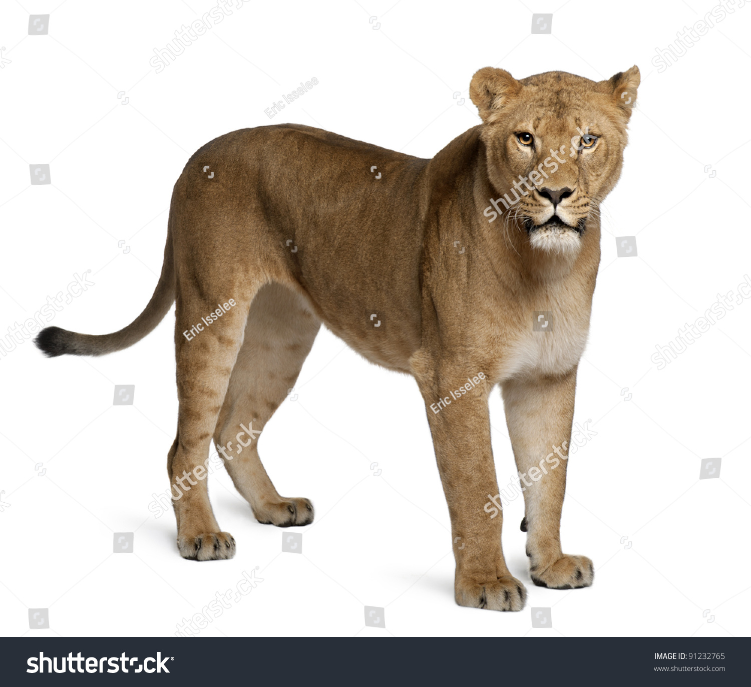 Lioness Front View Lioness Panthera Leo 3...