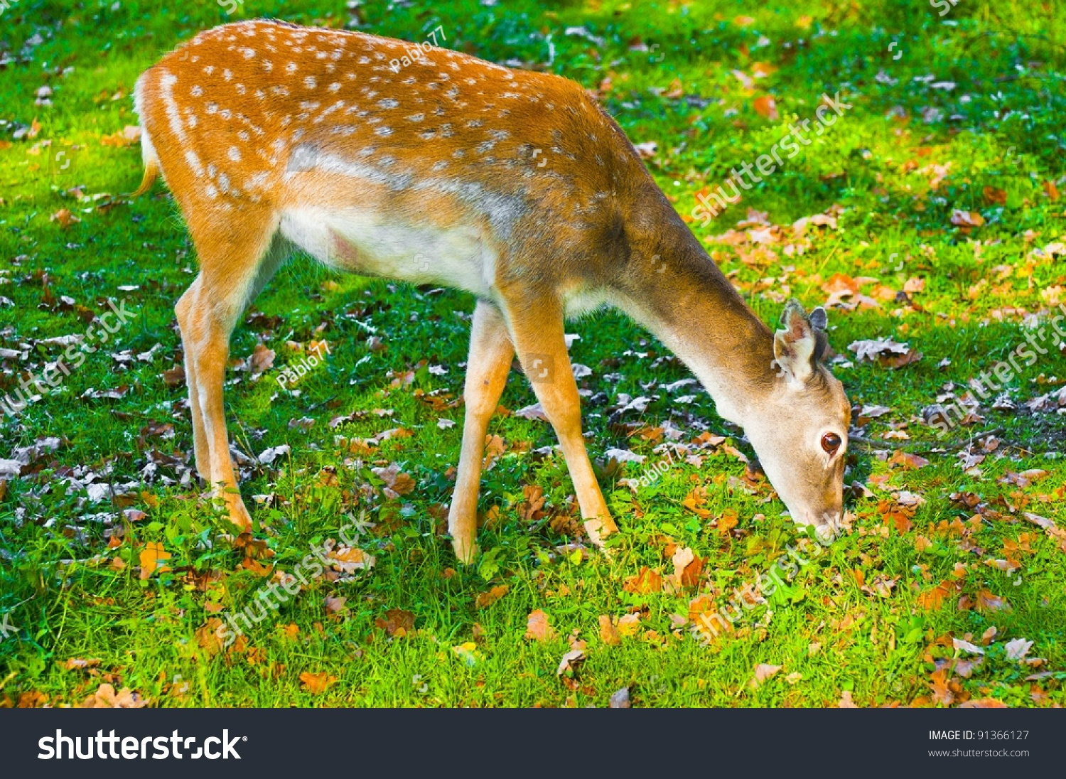 Sika Deer Female Eating Grass Stock Photo 91366127 Shutterstock