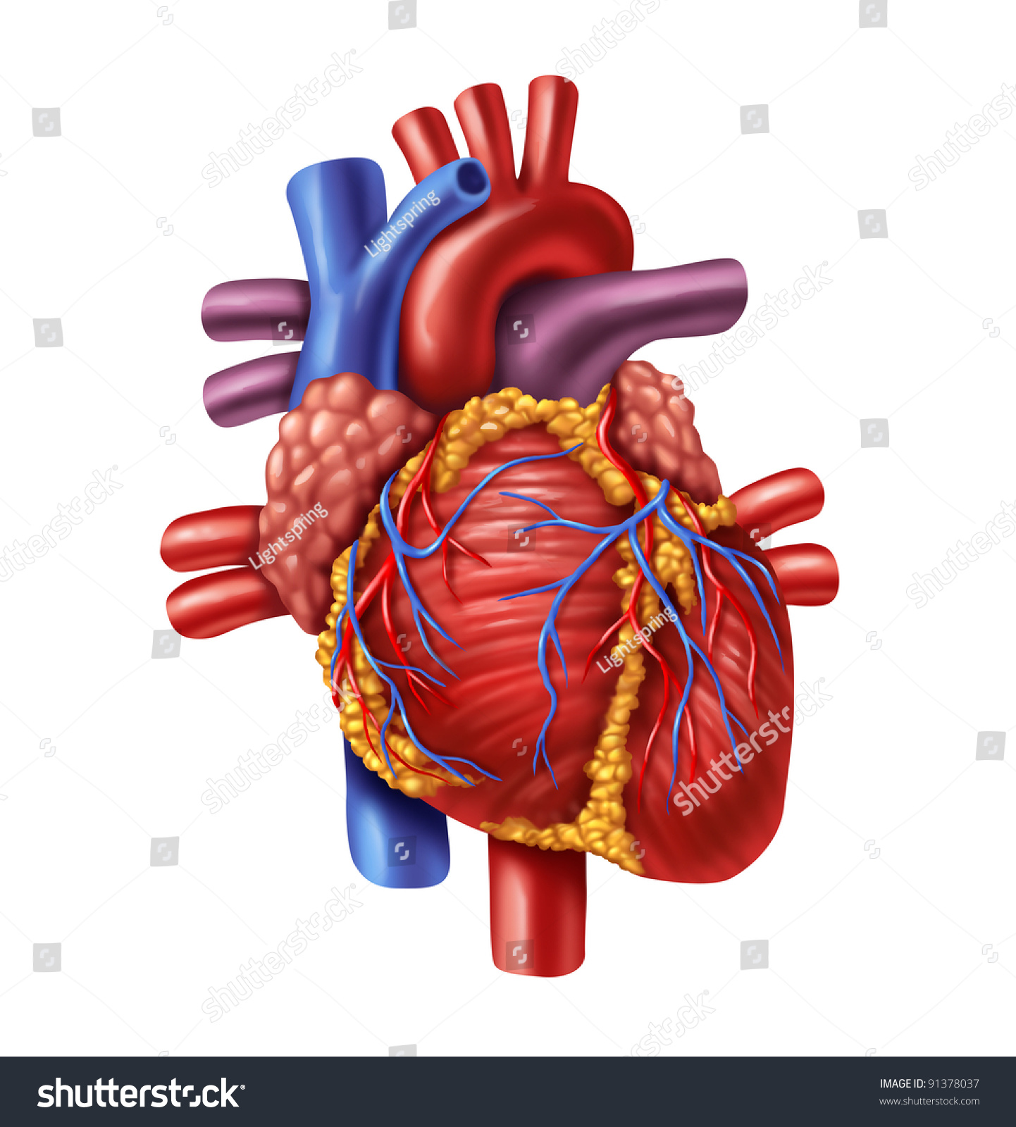 Human Heart Anatomy Healthy Body Isolated Stock Illustration