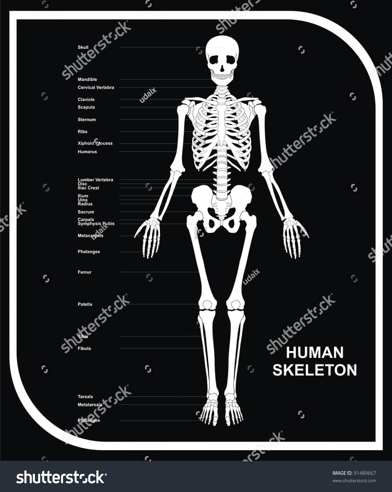 Vector Human Skeleton All Major Bones Stock Vector Royalty Free