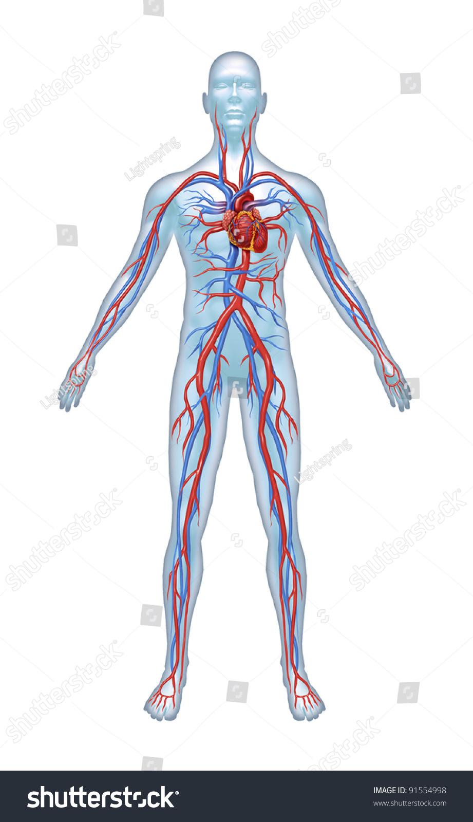 human cardiovascular heart system heart anatomy stock illustration, Muscles