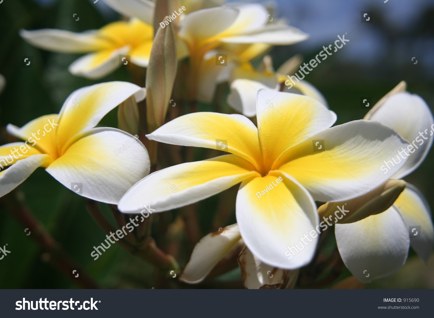 Soft yellow hawaiian plumeria flowers stock photo 915690 shutterstock soft yellow hawaiian plumeria flowers izmirmasajfo Choice Image
