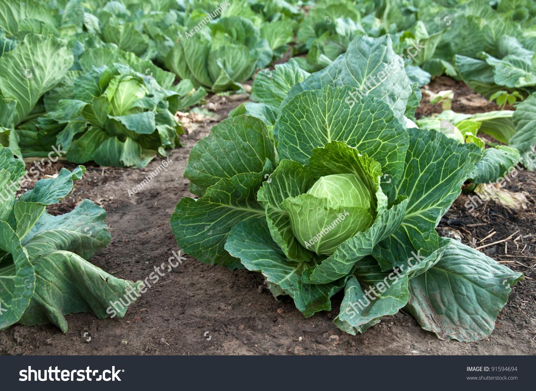 Cabbage Garden Stock Photo 91594694 Shutterstock