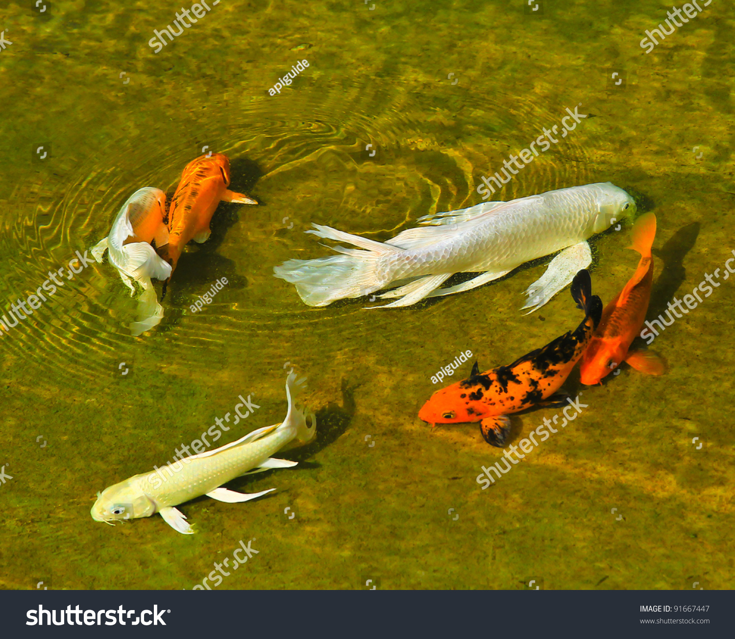 A koi carp swimming slowly stock photo 91667447 shutterstock for Koi swimming