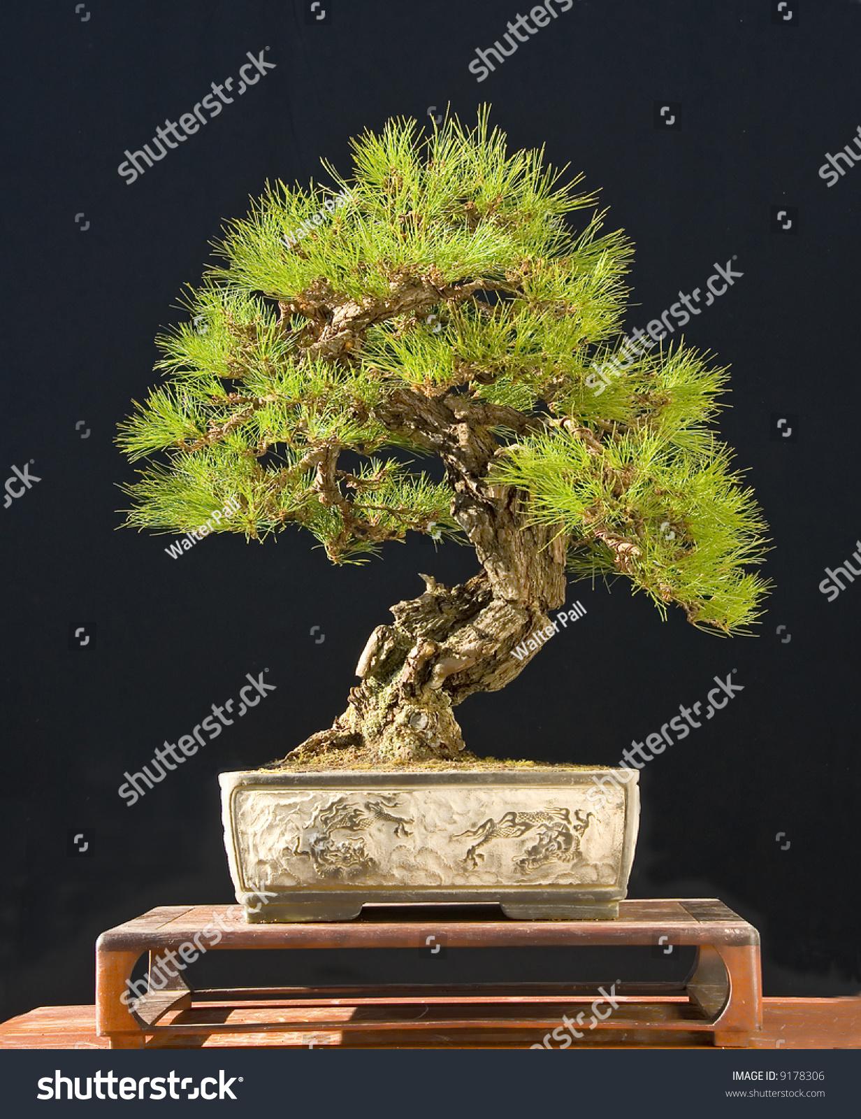 Japanese Red Pine Bonsai Stock Photo Edit Now 9178306