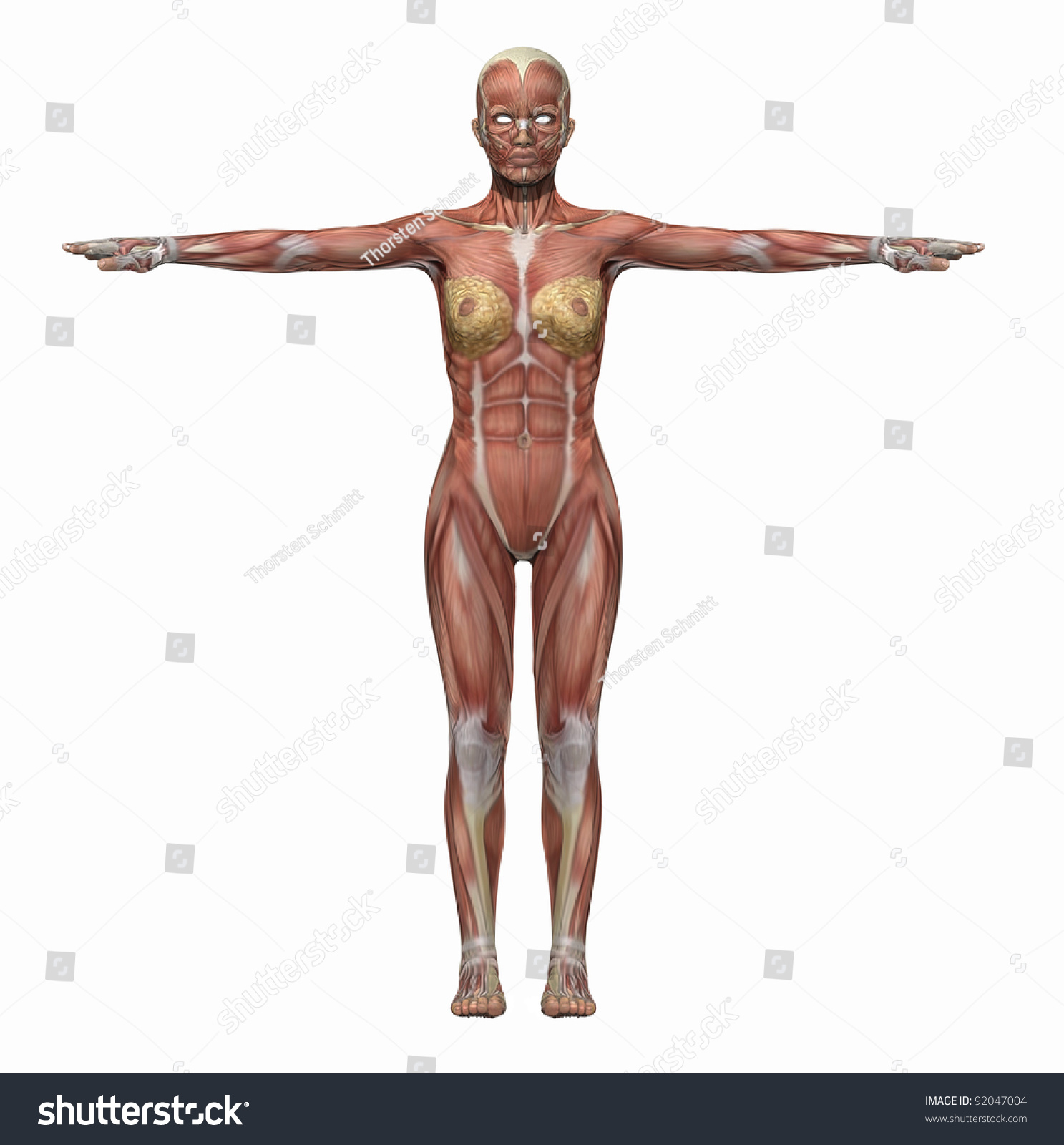 Anatomy Muscles Body Woman Stock Illustration - Royalty Free Stock ...