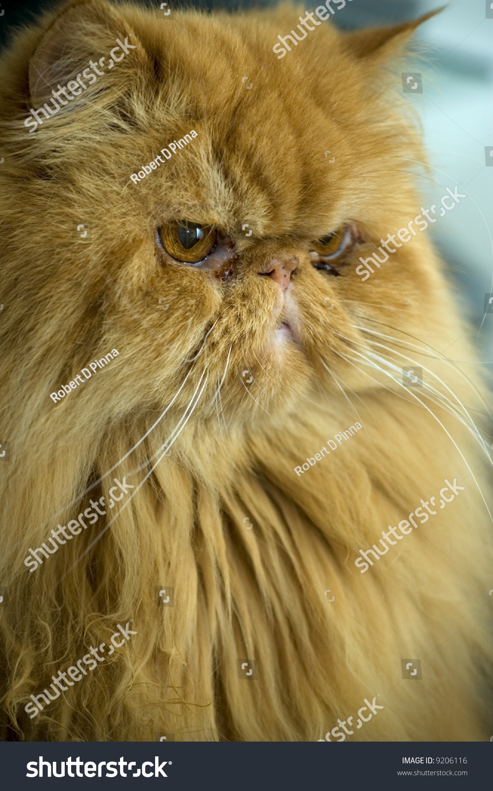 Adult Orange Persian Cat Stock Shutterstock