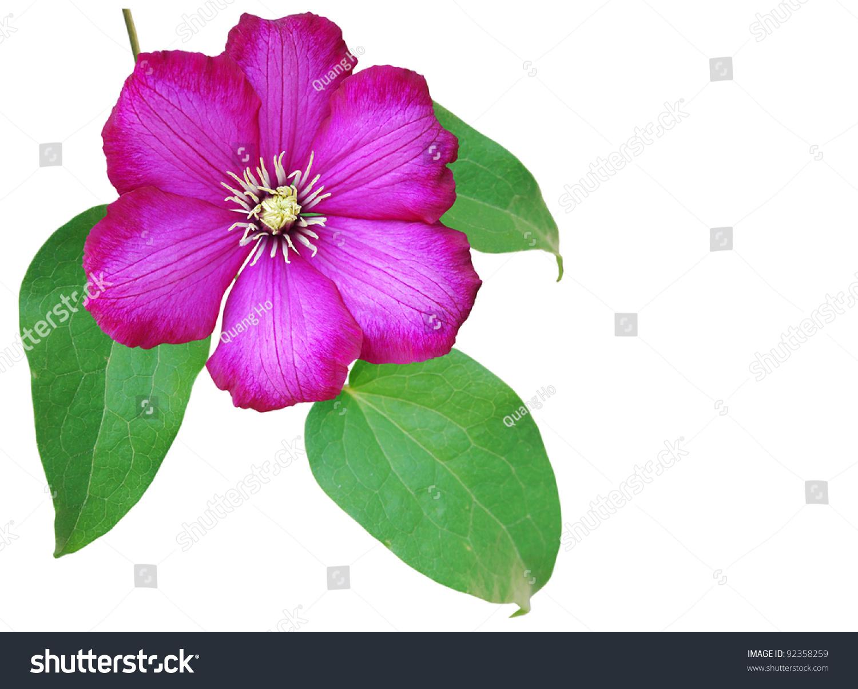 The Spring Clematis Flower Ez Canvas