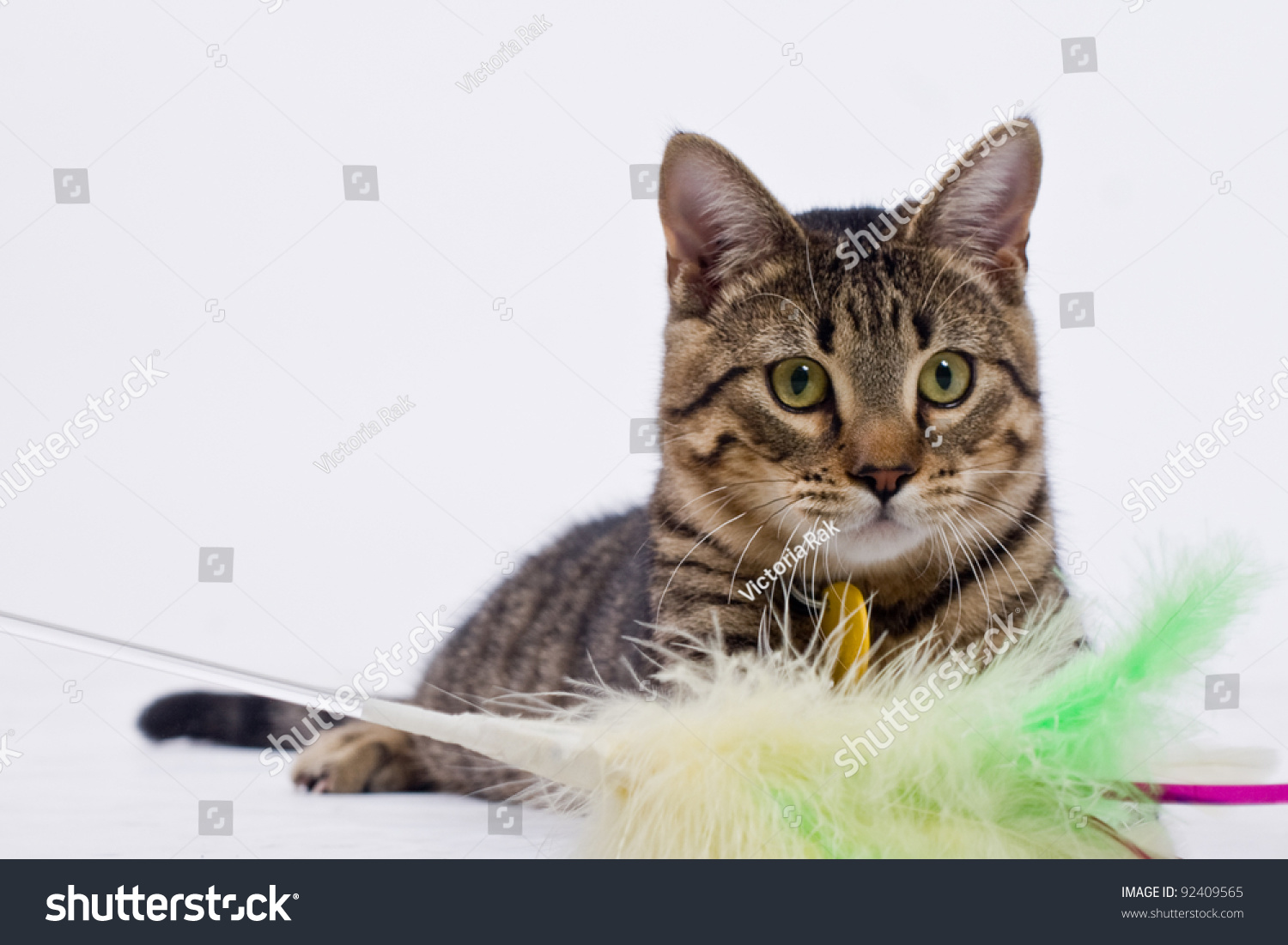 Playful Tabby Tiger Striped Cat With Feathers Stock Photo .