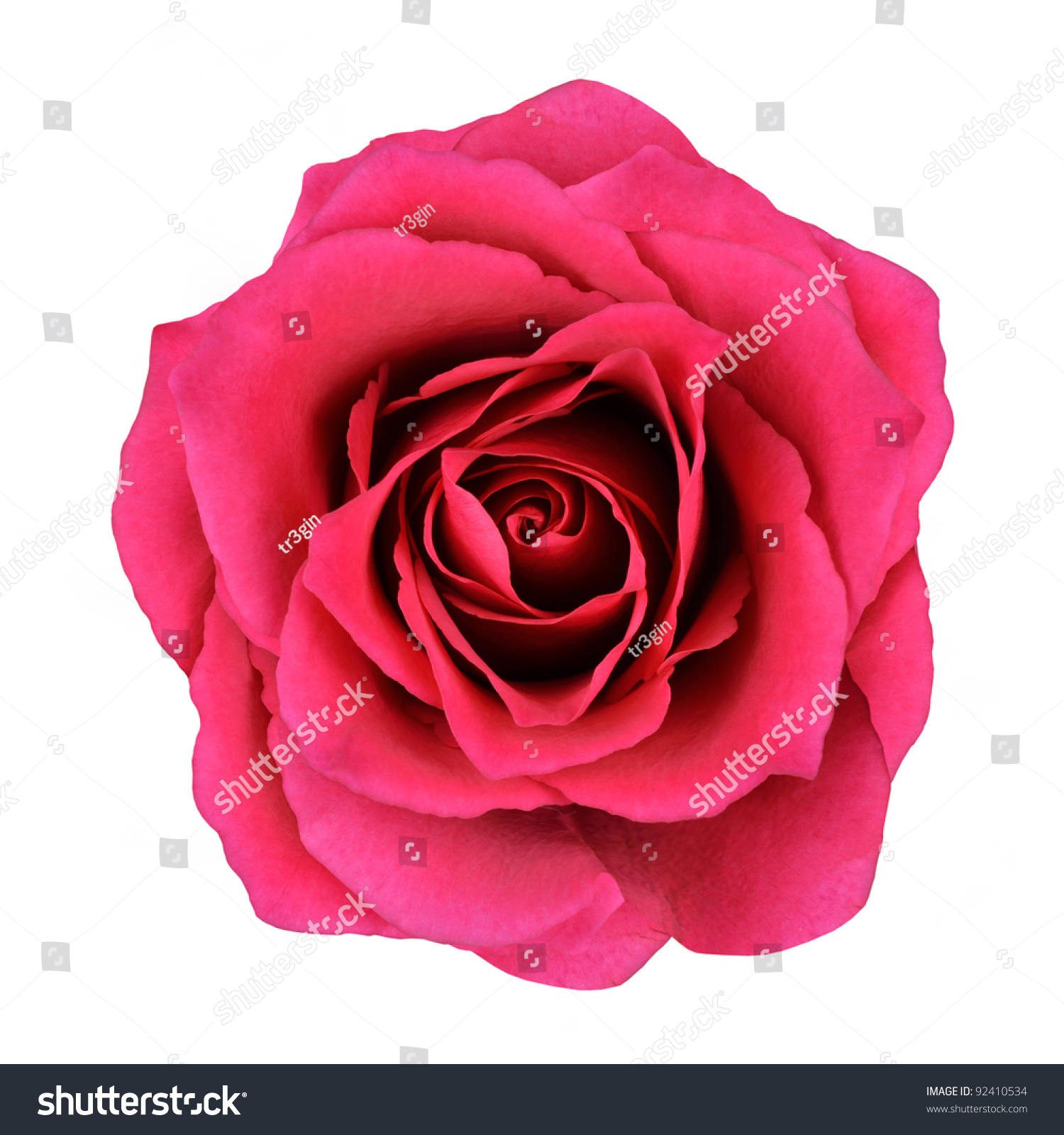 Red rose flower isolated on white background top view on beautiful