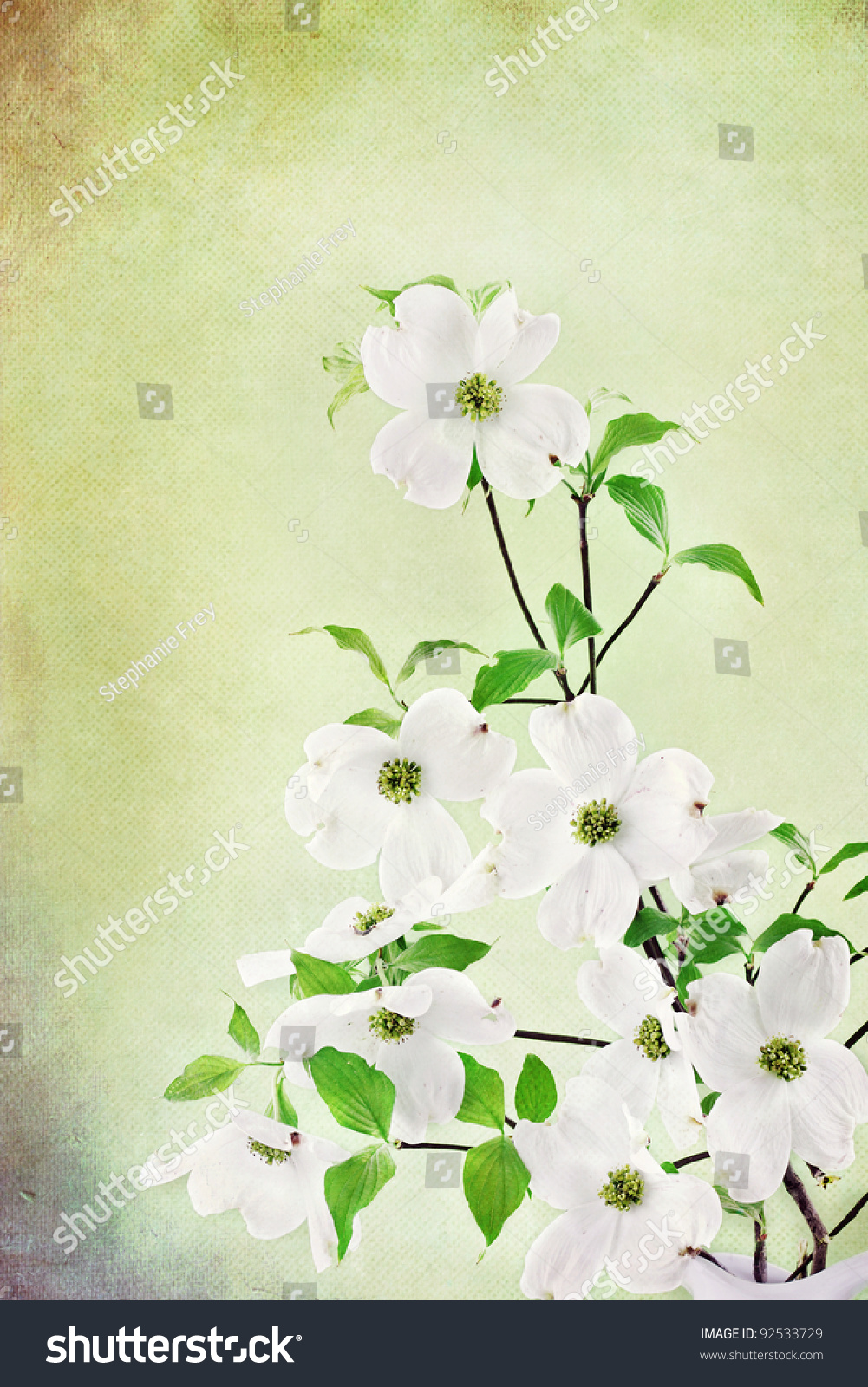 Textured Image Bouquet White Dogwood Blossoms Stock Photo (Royalty ...